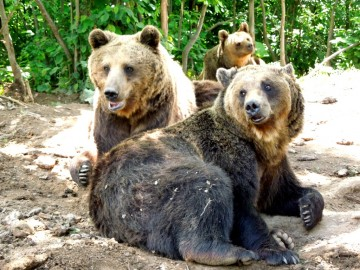 Freiwilligenarbeit mit Bären in Europa