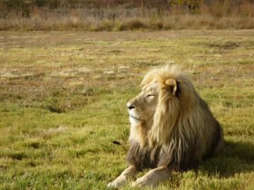 lion compressed