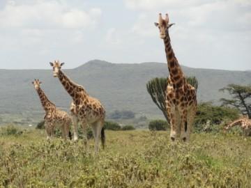Südafrika Volunteering mit Giraffen