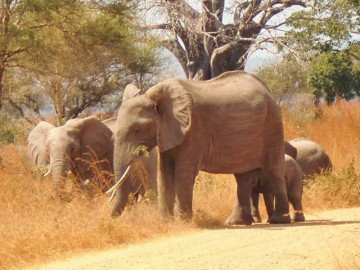 Freiwilligenarbeit Tansania mit Elefanten