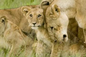 Löwen + Löwenjunge